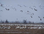 snow goose hunting Missouri