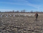 snow goose hunting guide