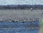 spring snow goose hunts