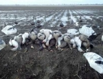 Missouri guided goose hunts