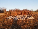 Guided Snow Goose Hunting