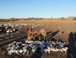 Professional Snow Goose Guides