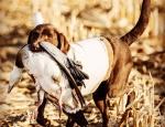 goose hunting in Missouri