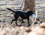 Missouri snow goose