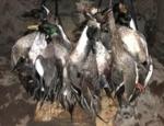 Missouri duck hunt
