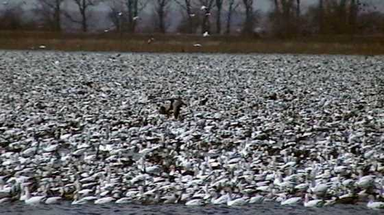 snow goose overpopulation essay This pin was discovered by snowgoose discover (and save) your own pins on pinterest.