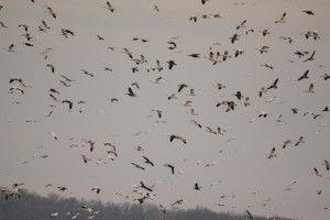 From a Passion to an Obsession: Snow Goose Hunting