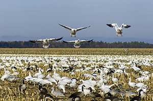 The Popularity of Spring Snow Goose Hunting in Missouri