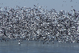 Why Spring Snow Goose Hunting is Required