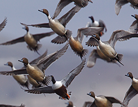 The Advantages of Duck Hunting in Southeast Missouri