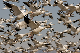 Missouri the 'go to' Destination for Spring Snow Goose Hunting