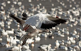 Guided Snow Goose Hunt the Better Choice