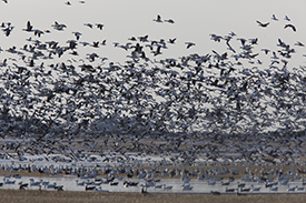 Spring Snow Goose Hunting is the Next Best Thing