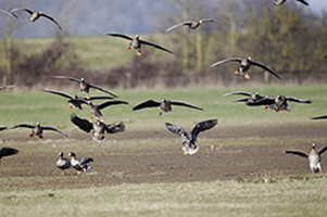 A Guide to Successful Speckle Belly Goose Hunting in South East Missouri