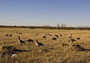 Guided Goose Hunts: A Great Way To Bag The Prize?
