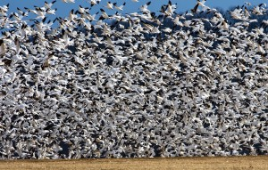 Never hunted Missouri spring snow geese? It's time for a change of heart!