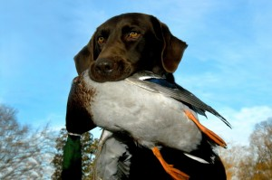 Your Dog's First Guided Duck Hunting Trip