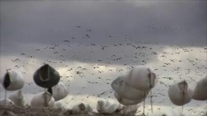 Intelligent Snow goose decoying