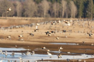 2014 Duck Breeding Numbers Up 8 Percent!