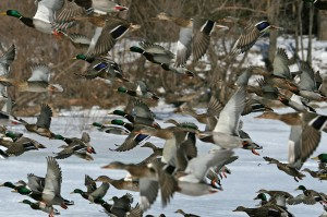 Missouri 2014 Waterfowl Hunting Season Dates Announced !