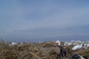 Helpful guide to Public Land Snow Goose Hunts
