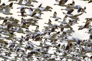 When You Think of Snow Goose Hunting, Think NW Missouri