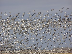 Why Snow Goose Hunting in Southeast Missouri is So Popular