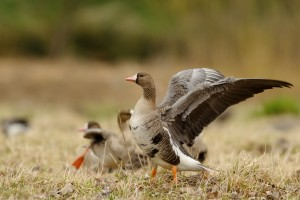 Guided  Specklebelly Goose Hunting Trips