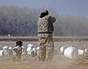 Introducing Your waterfowl Hunting Dog to Gunfire