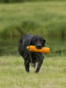 How to Force Fetch Your Hunting Dog