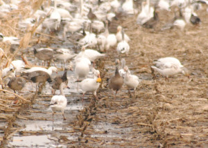Discover Some Fascinating Facts about Mid-continent Snow Geese