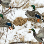 Missouri 2016 Waterfowl Hunting Season Announced!